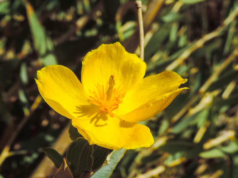 Bush Poppy  (Dendromecon rigida) PAPAVERACEAE
