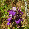 Chinese Houses (Collinsia concolor) PLANTAGINACEAE