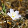Narrowflower Flaxflower (Leptosiphon liniflorus) POLEMONIACEAE