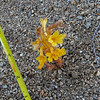 Clustered Broomrape (Orobanche fasciculata) OROBANCHACEAE