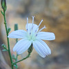 Twiggy Wreathplant (Stephanomeria virgata) ASTERACEAE