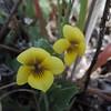 Goosefoot Violet (Viola purpurea ssp. quercetorum) VIOLACEAE