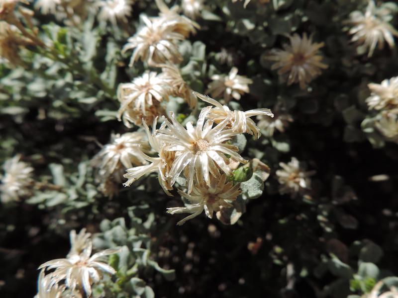 Wedge-leaved Goldenbush  (Ericameria cuneata) ASTERACEAE