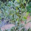 Purple Nightshade (Solanum xanti) SOLANACEAE