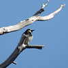 Acorn Woodpecker (Melanerpes formicivorus)