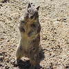 California Ground Squirrel (Spermophilus beecheyi