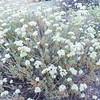 California Buckwheat (Eriogonum fasciculatum) POLYGONACEAE