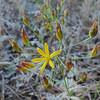 Goldenstars  (Bloomeria crocea) THEMIDACEAE