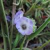 Mountain Phacelia  (Phacelia curvipes) BORAGINACEAE