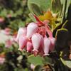 Manzanita  (Arctostaphylos sp.) ERICACEAE