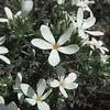 Summer Snow  (Leptosiphon floribundus ssp. glaber) POLEMONIACEAE