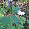 Creeping Snowberry (Symphoricarpos mollis) CAPRIFOLIACEAE