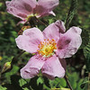 California Rose (Rosa californica) ROSACEAE