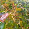 Poison Oak (Toxicodendron diversilobum) ANACARDIACEAE