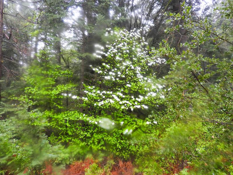 Mountain Dogwood (Cornus nuttallii) CORNACEAE
