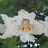 Northern Catalpa (Catalpa speciosa) BIGNONIACEAE