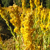 California Goldenrod (Solidago velutina ssp. californica) ASTERACEAE