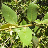 Canyon Live Oak (Quercus chrysolepis) FAGACEAE