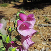 Foxglove (Digitalis purpurea) PLANTAGINACEAE