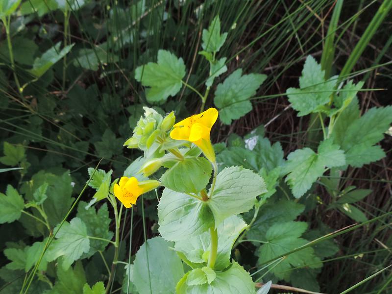 Seep Monkeyflower (Erythranthe guttata) PHRYMACEAE