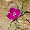 Winecup Clarkia (Clarkia purpurea) ONAGRACEAE