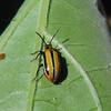 Three Lined Potato Beetle - (Lema trilinea)