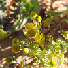 Pineapple Weed (Chamomilla suaveolens) ASTERACEAE