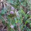 Italian Thistle (Carduus pycnocephalus) ASTERACEAE