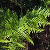 Western Bracken (Pteridium aquilinum) DENNSTAEDTIACEAE
