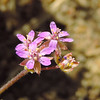 Red Stem Filaree (Erodium cicutarium) GERANIACEAE