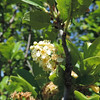 Western Choke Cherry (Prunus virginiana var. demissa) ROSACEAE