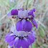 Chinese Houses (Collinsia heterophylla) PLANTAGINACEAE
