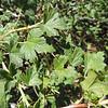 Fuchsia-flowered Gooseberry (Ribes speciosum) GROSSULARIACEAE