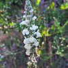 White Snapdragon (Antirrhinum coulterianum) PLANTAGINACEAE