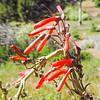 Scarlet Bugler  (Penstemon centranthifolius) PLANTAGINACEAE