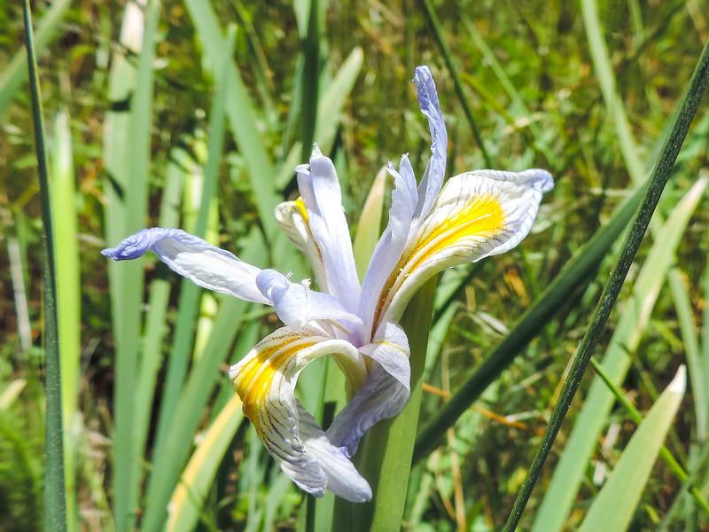 Western Blue Flag (Iris missouriensis) IRIDACEAE