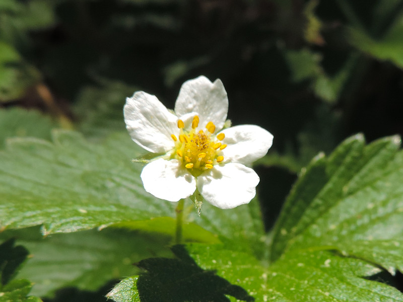 Wood Strawberry  (Fragaria vesca) ROSACEAE