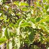 Sticky Cinquefoil  (Potentilla glandulosa) ROSACEAE