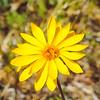 Golden-rayed Pentachaeta (Pentachaeta aurea ssp. aurea) ASTERACEAE