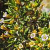 Anderson Thornbush  (Lycium andersonii) SOLANACEAE