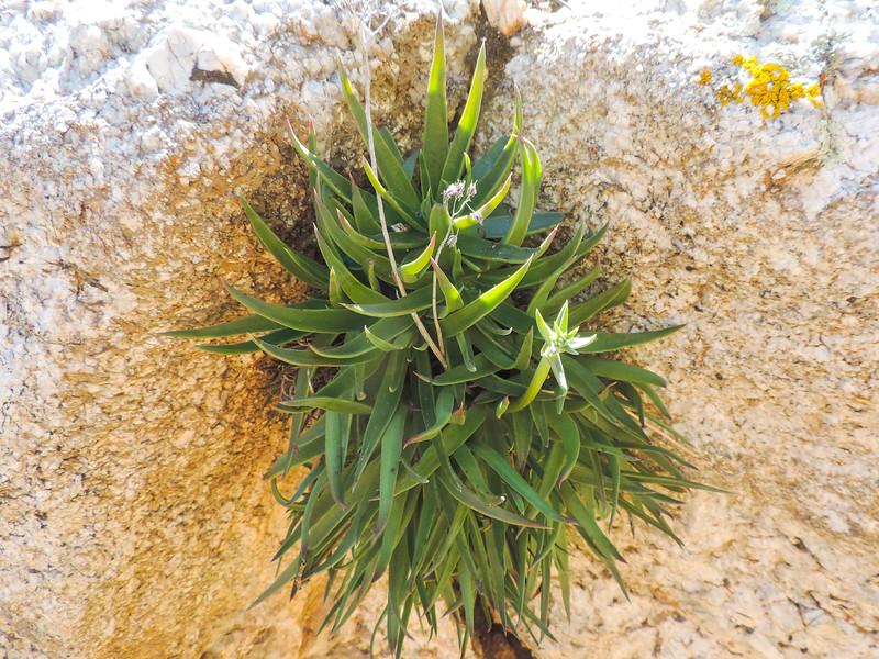Panamint Dudleya (Dudleya saxosa ssp. aloides) CRASSULACEAE