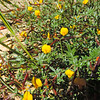 Desert Lotus  (Acmispon rigidus) FABACEAE