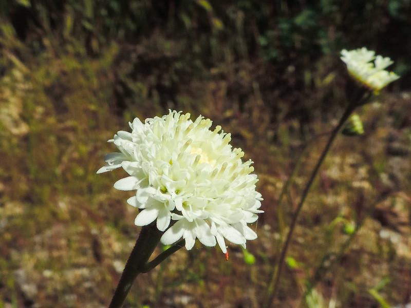 Fremont's Pincushion  (Chaenactis fremonti) ASTERACEAE