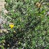 Blackbrush (Coleogyne ramosissima) ROSACEAE