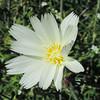 Desert Chicory (Rafinesquia neomexicana) ASTERACEAE