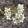 California Everlasting (Pseudognaphalium californicum)