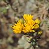 Menzies' Goldenbush (Isocoma menziesii)