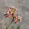 California Buckwheat (Eriogonum fasciculatum)