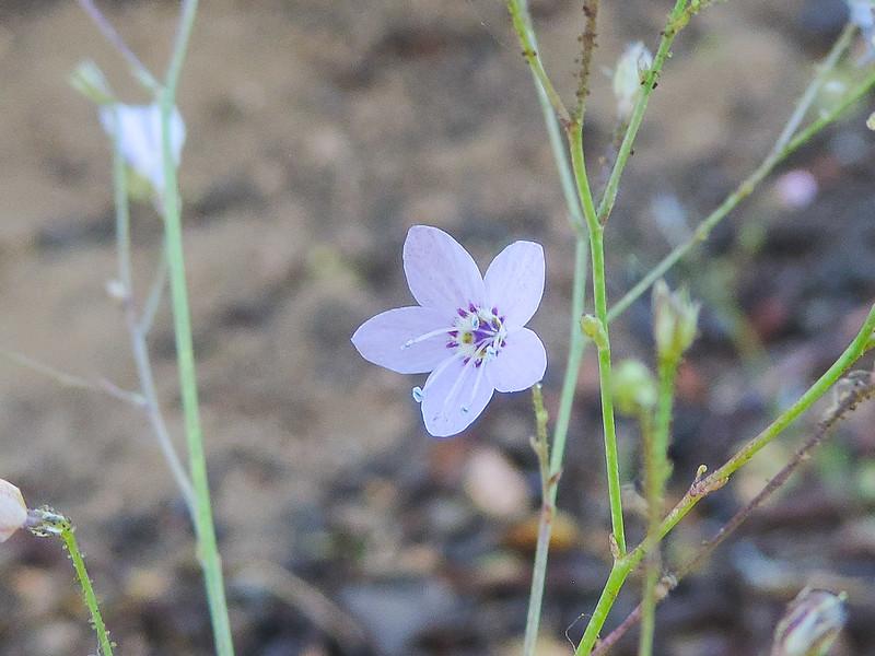 Caraway-leaved Gilia  (Saltugilia caruifolia) POLEMONIACEAE