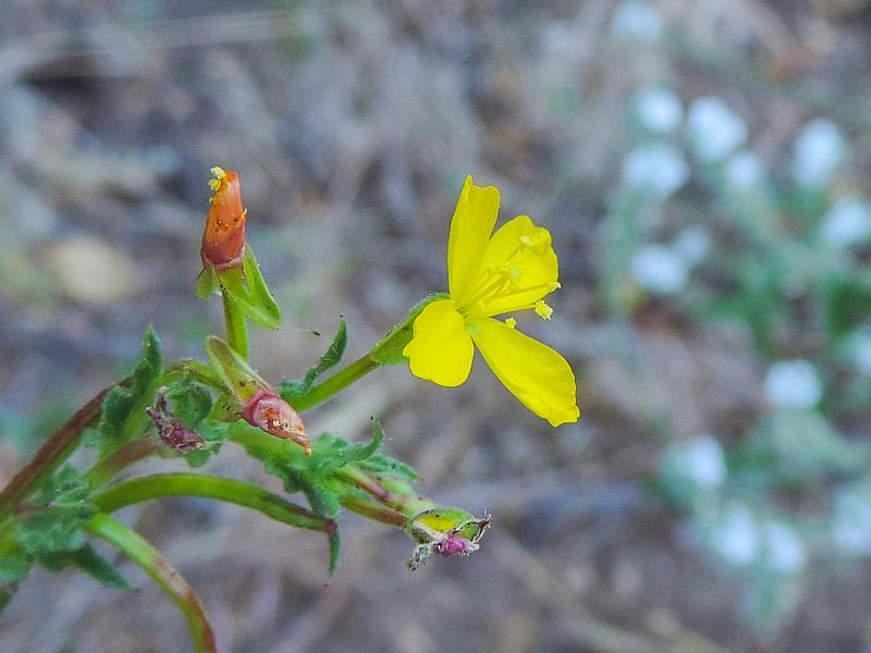 Suncup  (Camissoniopsis sp.) ONAGRACEAE
